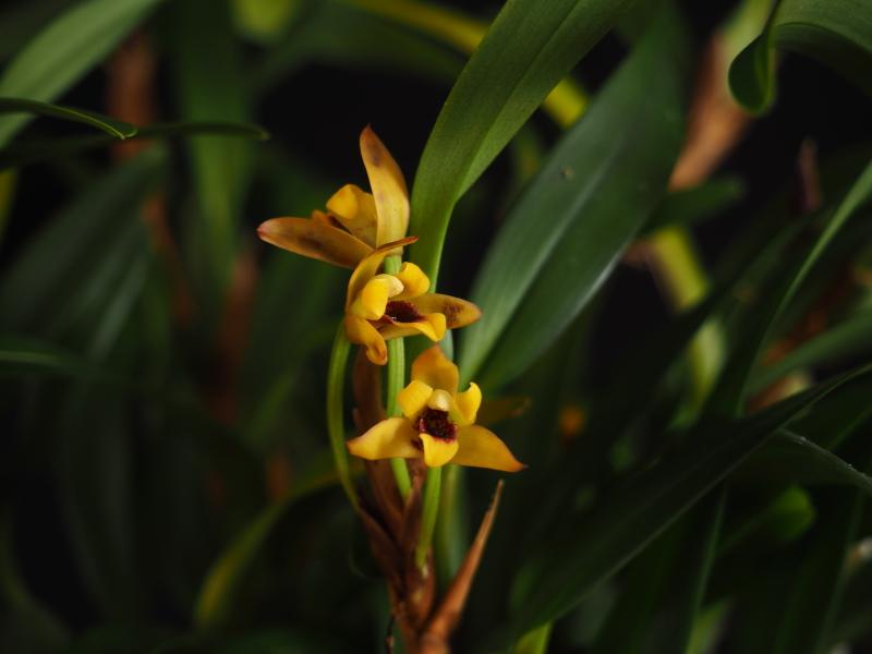 Les Orchidées chez Cloo en 2018 - Page 23 46083420912_e6f392681b_o