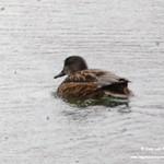 Aves en las lagunas de La Guardia (Toledo) 16-12-2018