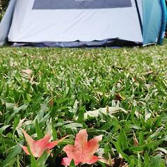 錯過了楓葉,明年三四月再來賞櫻 #camping #mapleleaf