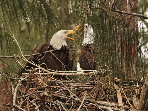 Bald Eagle 6209-20190125