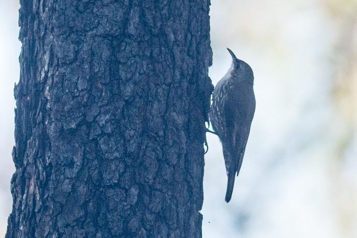 White-throated Treecreeper  - female