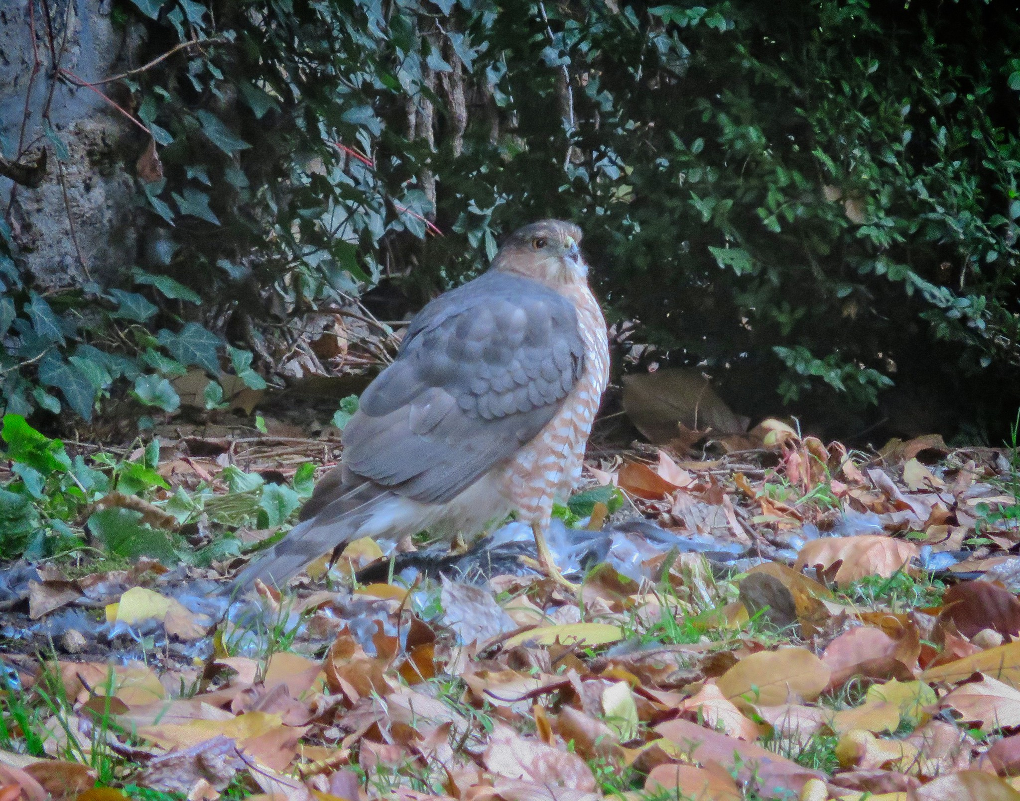Cooper's hawk in NYC Marble Cemetery