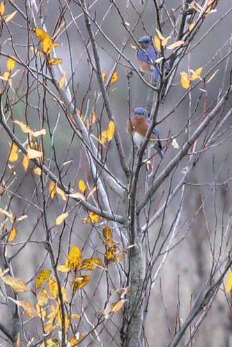 Eastern Bluebird, Multnomah Co., OR_5439(2)