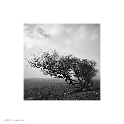 Bryn Goleu Trees #2