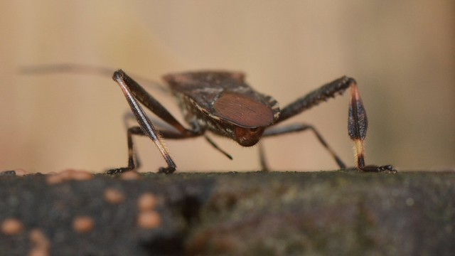 Rear end of a Leaf-footed Bug in the Oregon woods