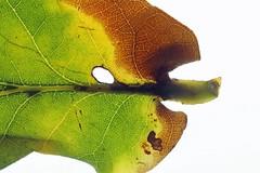 Heliozelidae