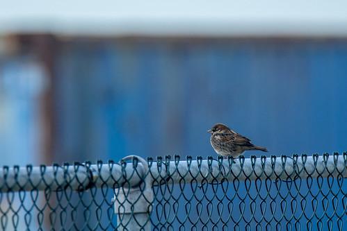 Spanish sparrow - Passer hispaniolensis - Spaanse mus