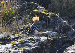 Hoopoe with crest lit by the sun.