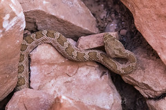 Rattlesnake Guarding Moon House Ruin
