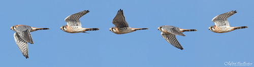 Male American Kestrel Flight Sequence (Explored)