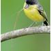Common Tody-Flycatcher / Espatulilla Común