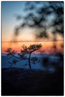 shapeof pine trees 1