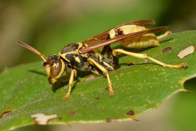 Western Paper Wasp (Mischocyttarus flavitarsis) on an oak leaf
