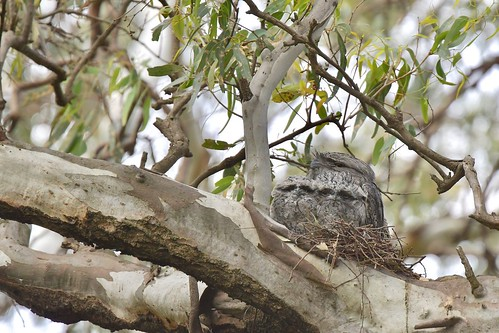 Tawny Frogmouth ( with two young )
