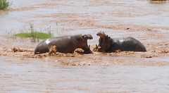 Hippos (Hippopotamus amphibius) fighting ....