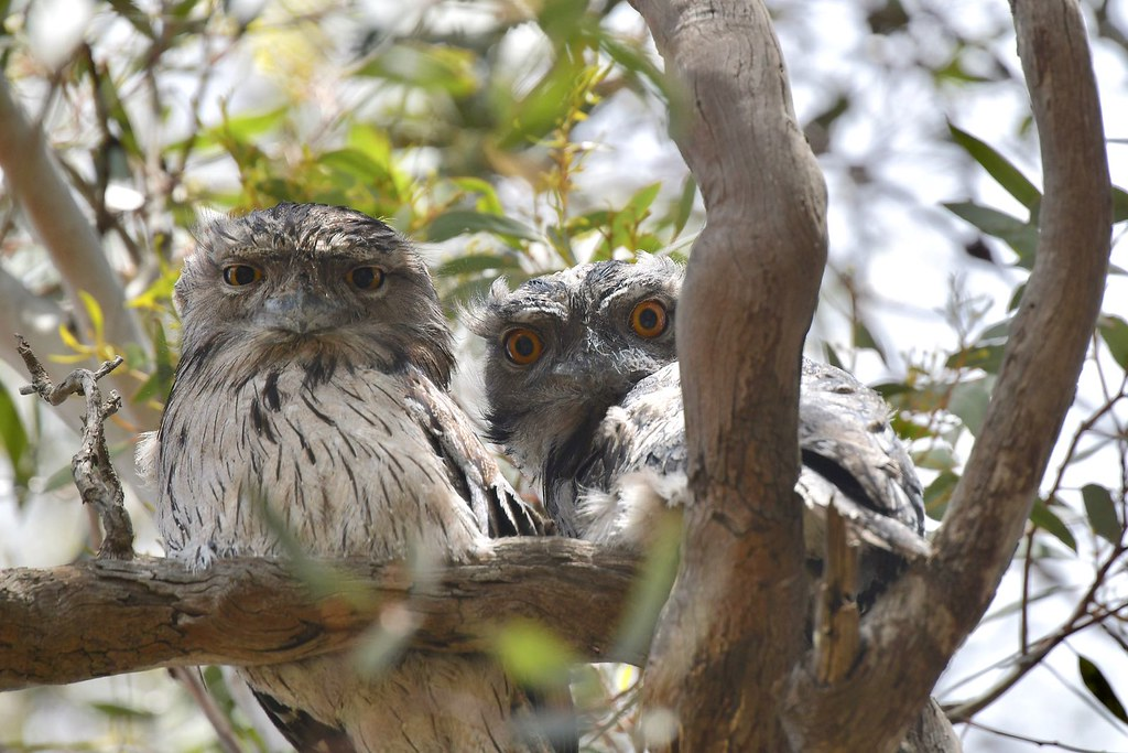Tawny Frogmouth ( young ones )