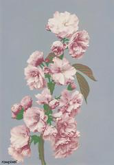 Beautiful photomechanical prints of Cherry Blossom (1887-1897) by Ogawa Kazumasa. Original from The Rijksmuseum. Digitally enhanced by rawpixel.