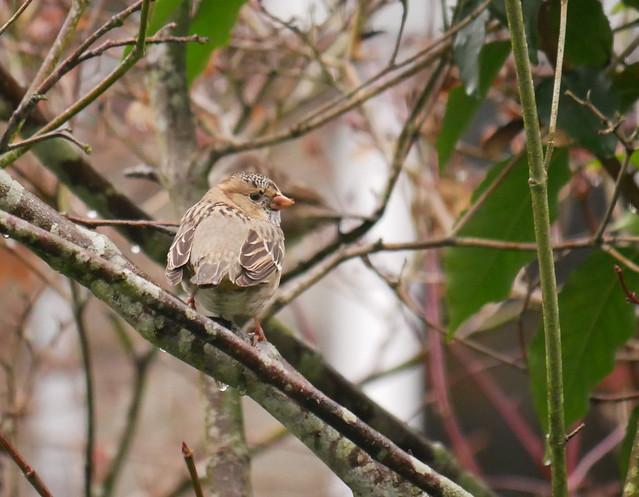 Harris's Sparrow!, Panasonic DMC-G85, LUMIX G VARIO 100-300/F4.0-5.6II