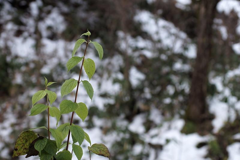 緑の葉っぱ_201812