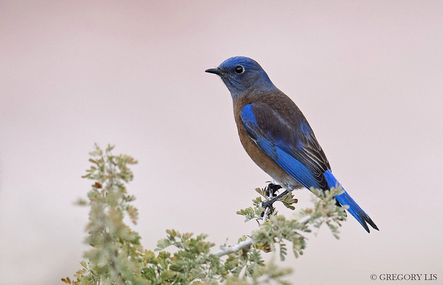 Western Bluebird in Red Rock Canyon, Nevada
