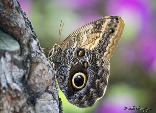 papillon chouette