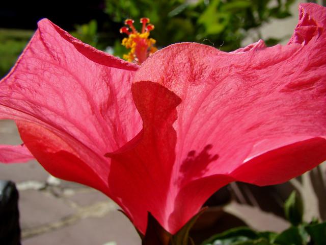 HIBISCUS rose-rouge - patio, Sony DSC-H9