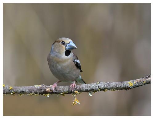 Grosbec casse noyaux - Hawfinch