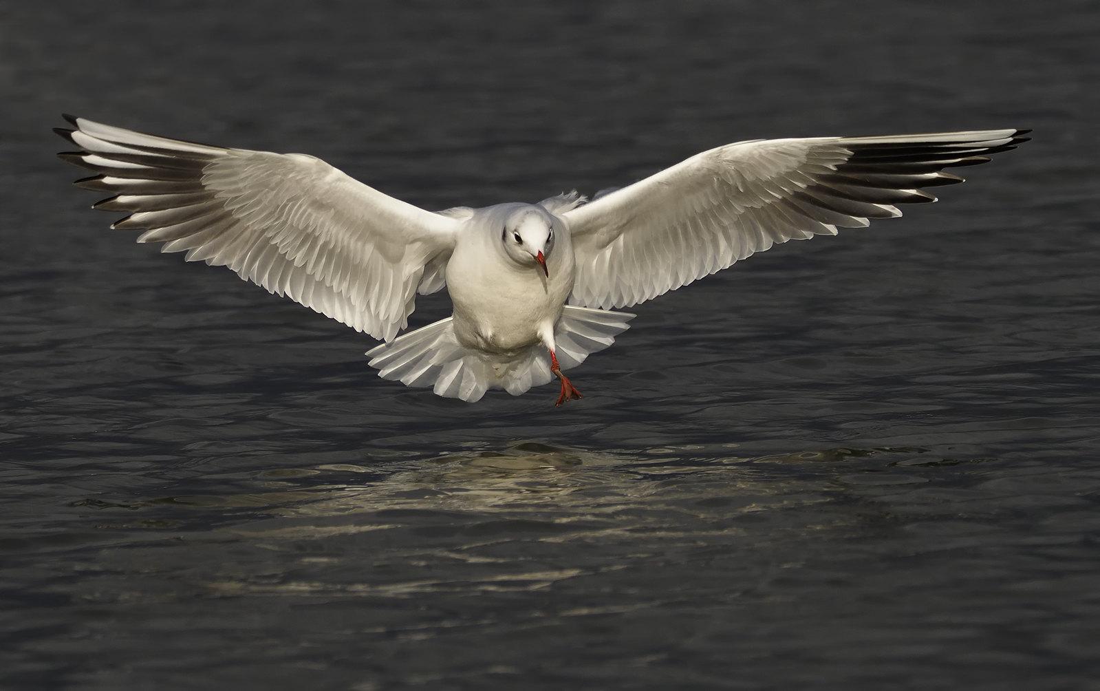 Black-headed Gull - one-legged.
