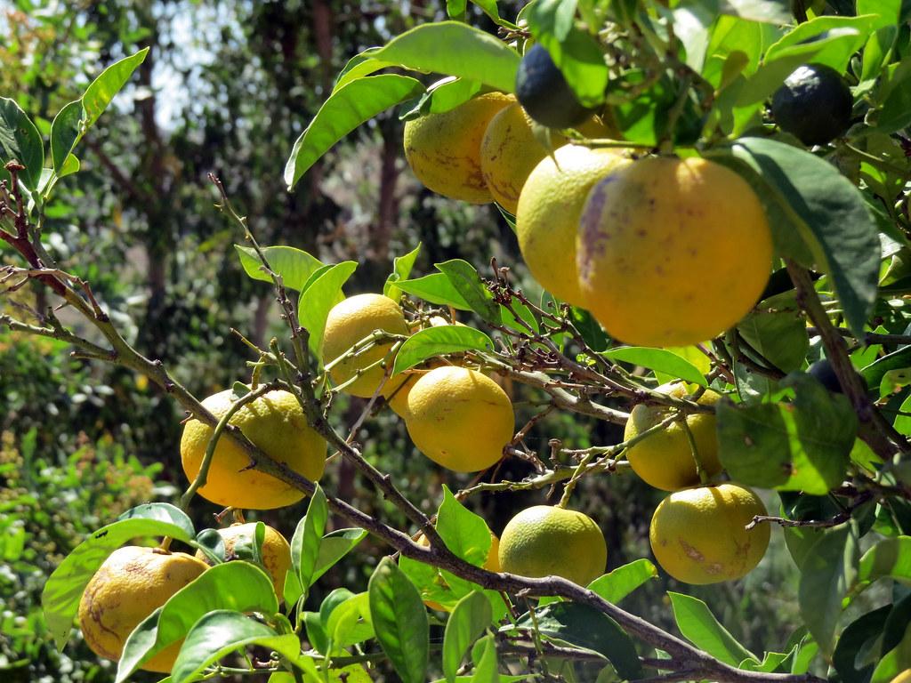 Монастырские лимоны