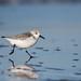 Sanderling by Corine Bliek