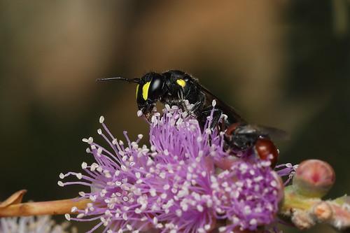Bee - Hylaeus sp?