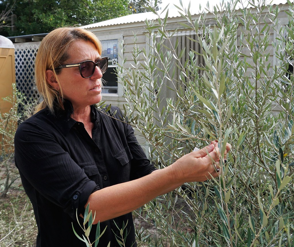 Dede Davis Inspects One of Her Olive Trees at The Olive Grove in Brooksville, Fla.
