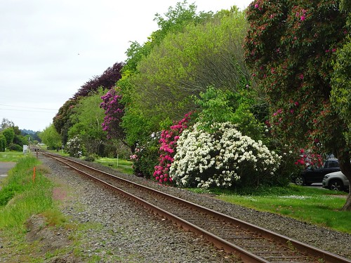 Inglewood in Taranki. Rhododendron  flowering along the side of the railway line.