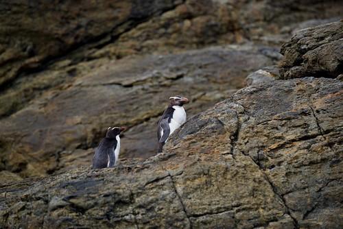 Fiordland Yellow Crested Penguins