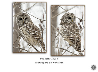 Barred Owl / Chouette rayée / Strix varia