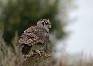 Milky-Eagle-Owl-1035