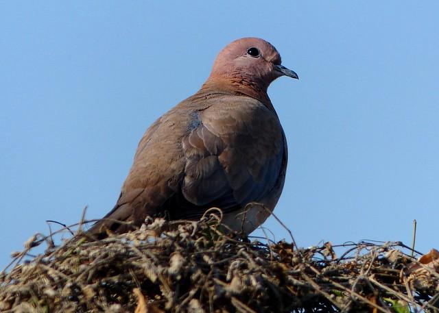 Laughing Dove - Bharatpur Bird Sanctuary