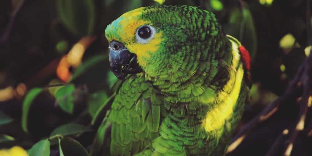amazon-a-front-bleu-perroquet