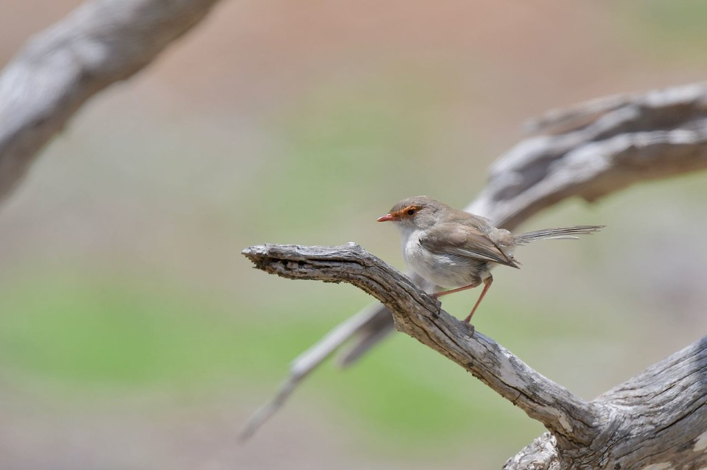 Superb Fairy - wren