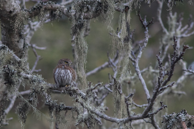 Northern Pygmy-owl, Canon EOS 7D MARK II, Canon EF 300mm f/4L IS