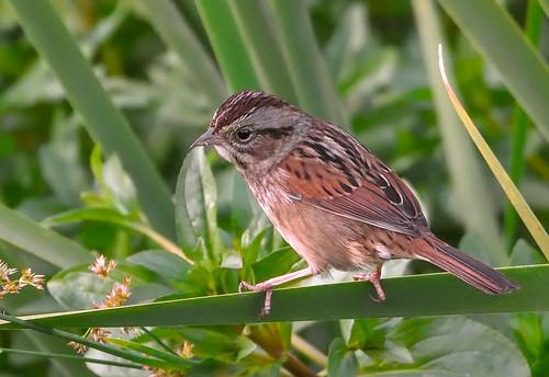 Swamp Sparrow (54)