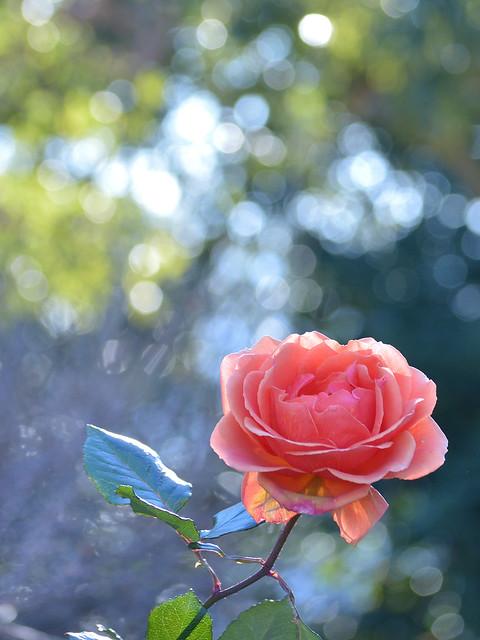冬のバラ~アシュラム