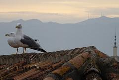 Alcazaba gulls