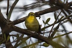White-breasted White-eye - Baringo Kenya CD5A5795