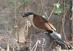 Senegal Coucal