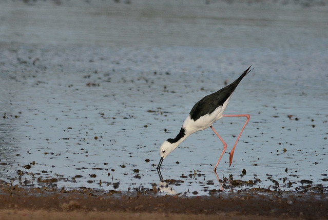 White-headed Stilt, Nikon D7100, Sigma 150-500mm F5-6.3 DG OS APO HSM