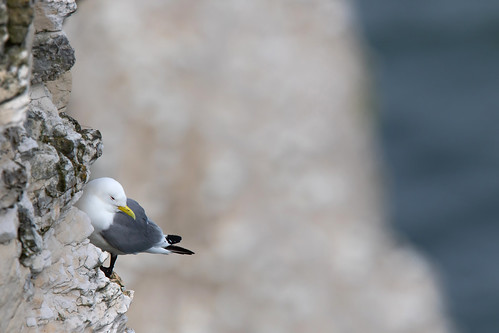 Kittiwake (Rissa tridactyla) | by Wildlife Photography by Matt Latham
