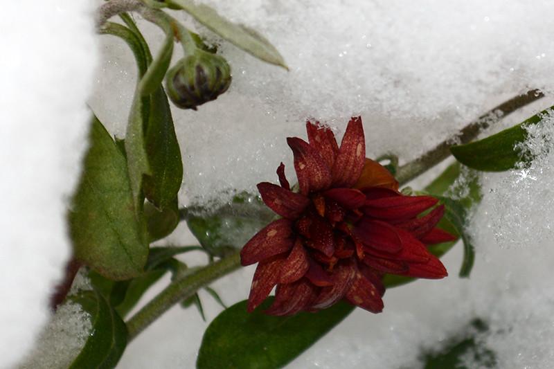 цветы в снегу 28