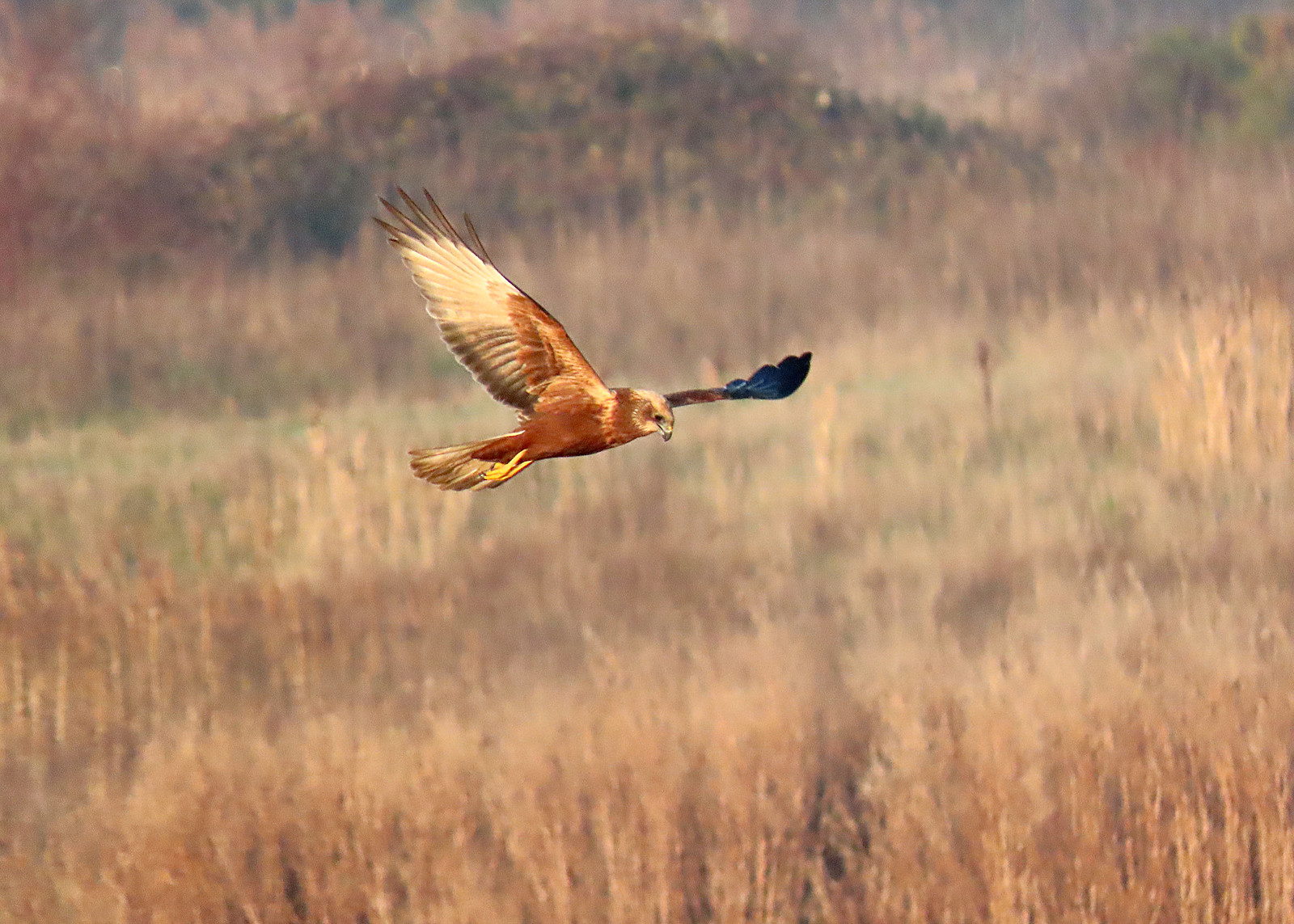 Marsh Harrier - Circus aeruginosus