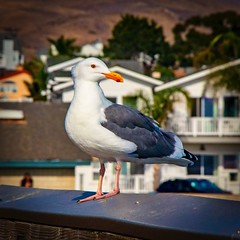 Pacific Gull at the Cayucos Pier